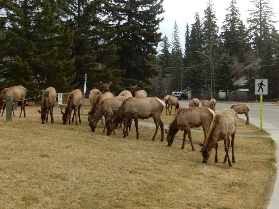 jeleni wapiti v Canmore