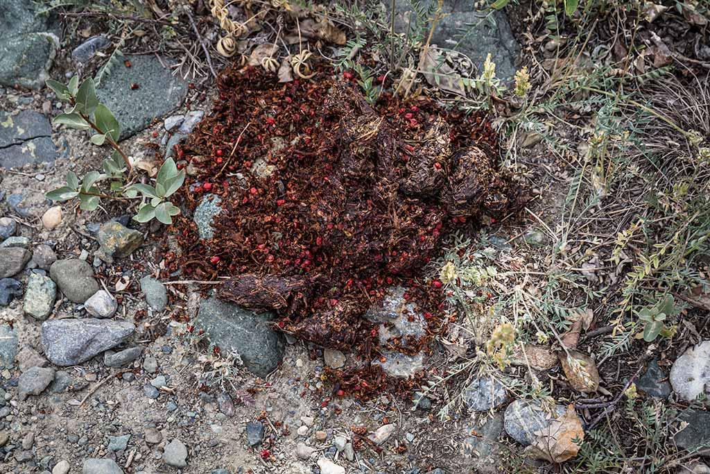 Medvědí trus, jedna ze stop medvědí aktivity na trailu