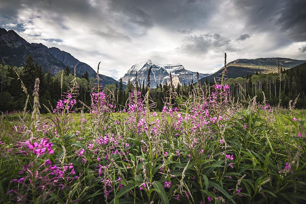 Výhled na Mount Robson skrze lupiny