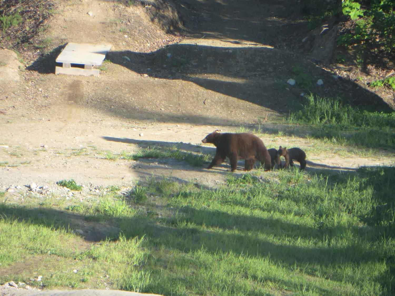 V Kanadě za studiem - medvědice