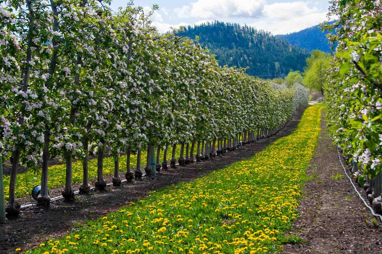 Okanagan Valley práce na vinici