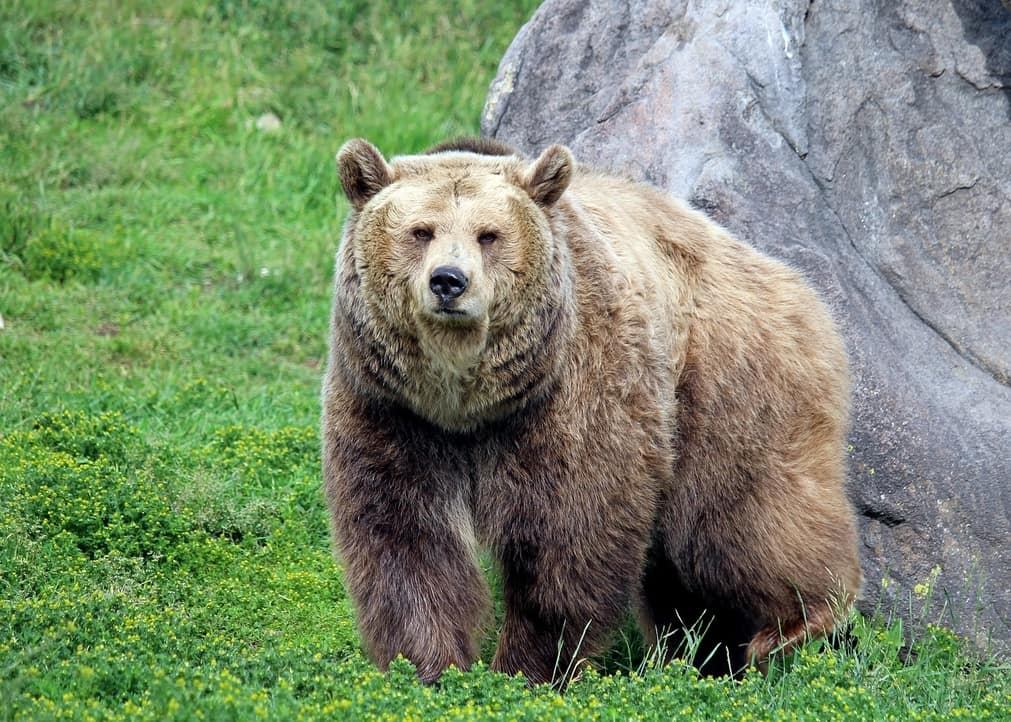 Medvěd grizzly