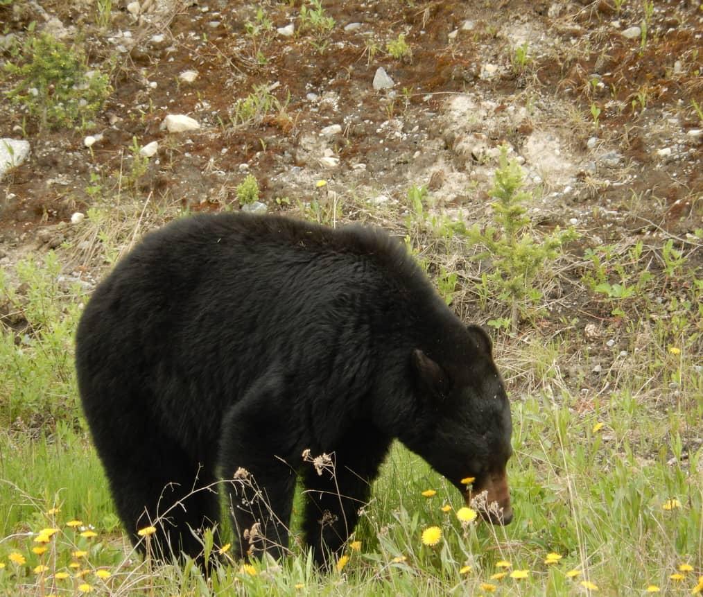 Medvěd černý baribal