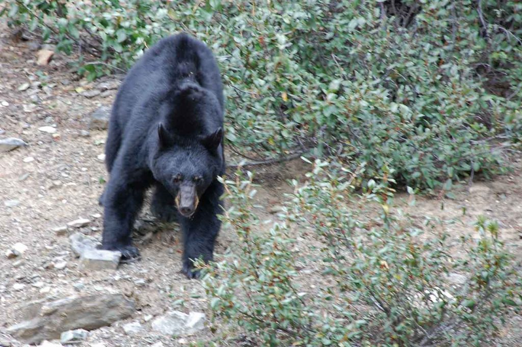 Rozhovor s Karlem - kanadská divočina - medvěd