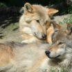 chovná stanice pro vlky v Kanadě